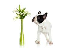 Francuski buldog z kwiatami odizolowywającymi na białym tło psie fotografia stock