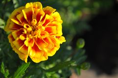 Francuskich nagietków kwiat zdjęcie stock