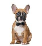 Francuskiego buldoga szczeniak jest ubranym łęku krawat fotografia royalty free