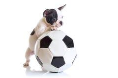 Francuskiego buldoga szczeniak z piłki nożnej piłką zdjęcia royalty free