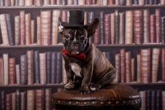 Francuskiego buldoga szczeniak z szyja łęku kapeluszem w bibliotece Zdjęcia Stock