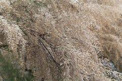 Francuskiego tamarisk Tamarix drzewny gallica zdjęcia stock