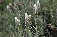 Francuskiej lawendy roślina z kwiatami fotografia stock