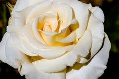 Francuz koronki róży kwiat Obraz Stock