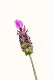 Francuz Lavendar - Lavandula stoechas zdjęcie royalty free