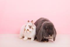 Francuz lop i biały królik Zdjęcie Royalty Free