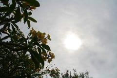 Frangapani contro il Sun immagine stock libera da diritti