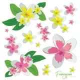 Frangapani florece el sistema del rosa y del amarillo ilustración del vector