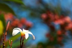 Frangiapani flower. For background with very nice background color Stock Photography