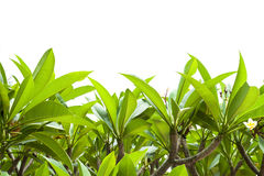 Frangipa ni leaf background. Royalty Free Stock Photography
