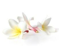 Frangipan bloemen Stock Afbeelding