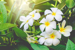 Frangipane bianco nel giardino Immagine Stock Libera da Diritti