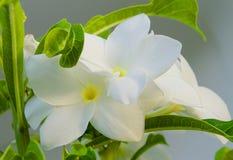 Frangipane-Blumennahaufnahme Lizenzfreie Stockfotografie