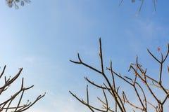Frangipane dell'albero di plumeria Immagini Stock Libere da Diritti