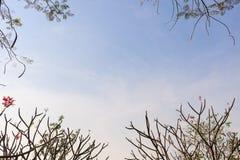 Frangipane dell'albero di plumeria Immagini Stock