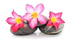 Frangipane e Zen Stone Fotografie Stock Libere da Diritti
