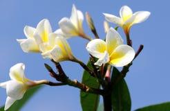 Frangipane flower Stock Image