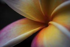 Frangipane, il fiore dell'ibrido di plumeria Fotografia Stock Libera da Diritti