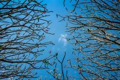 Frangipane o albero di plumeria con il fondo del cielo blu Fotografie Stock Libere da Diritti