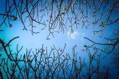 Frangipane o albero di plumeria con il fondo del cielo blu Fotografia Stock