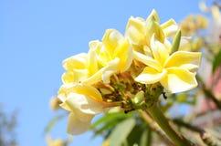 Frangipane, plumeria, fiore di Templetree Fotografie Stock Libere da Diritti