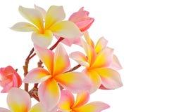 Frangipane rosa fotografia stock libera da diritti