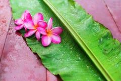Frangipane rosa del gruppo su foglia di palma verde Fotografie Stock