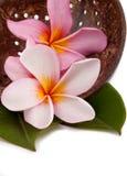 Frangipane rosa di plumeria sulle coperture della noce di cocco immagini stock libere da diritti