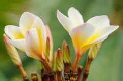 Frangipane tropicale dei fiori Fotografie Stock