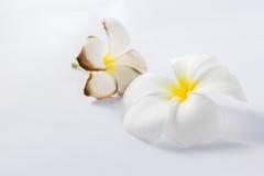 Frangipane tropicale dei fiori su fondo bianco fotografie stock