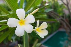 Frangipane tropicale dei fiori sul fondo della natura Immagini Stock