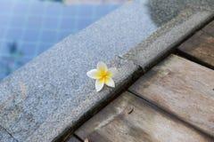 Frangipani, άσπρο λουλούδι Plumeria στην πισίνα Στοκ Εικόνες