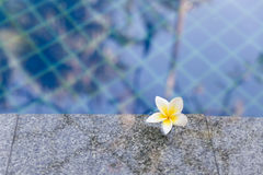 Frangipani, άσπρο λουλούδι Plumeria στην πισίνα Στοκ εικόνα με δικαίωμα ελεύθερης χρήσης