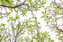 Frangipani δέντρων Plumeria - τα φύλλα στο άσπρο υπόβαθρο Στοκ Φωτογραφίες