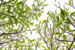 Frangipani δέντρων Plumeria - τα φύλλα στο άσπρο υπόβαθρο Στοκ φωτογραφία με δικαίωμα ελεύθερης χρήσης