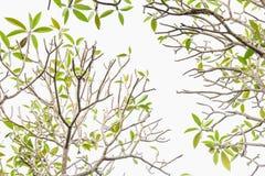 Frangipani δέντρων Plumeria - τα φύλλα στο άσπρο υπόβαθρο Στοκ Εικόνα