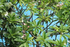 Frangipani ή δέντρο Plumeria πέρα από τη λίμνη Στοκ Εικόνα