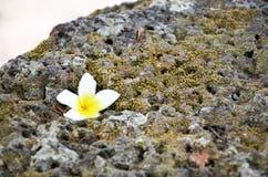 Frangipani ή λουλούδι Plumeria ή Templetree στην πέτρα Στοκ Εικόνα