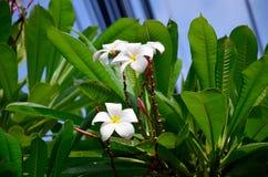 Frangipani ή λουλούδι Plumeria ή Templetree Στοκ Εικόνα