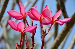 Frangipani ή λουλούδι Plumeria ή Templetree Στοκ φωτογραφία με δικαίωμα ελεύθερης χρήσης