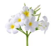 Frangipani ή λουλούδι Plumeria που απομονώνεται στο άσπρο υπόβαθρο Στοκ εικόνα με δικαίωμα ελεύθερης χρήσης