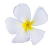 Frangipani ή λουλούδι Plumeria που απομονώνεται στο άσπρο υπόβαθρο Στοκ Εικόνες