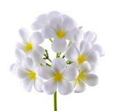 Frangipani ή λουλούδι Plumeria που απομονώνεται στο άσπρο υπόβαθρο Στοκ φωτογραφία με δικαίωμα ελεύθερης χρήσης