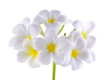 Frangipani ή λουλούδι Plumeria στο άσπρο υπόβαθρο Στοκ φωτογραφία με δικαίωμα ελεύθερης χρήσης
