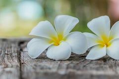 Frangipani ή λουλούδι Plumeria στο ξύλο Στοκ Εικόνα