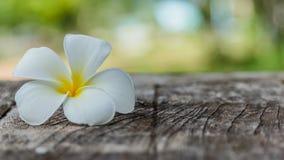 Frangipani ή λουλούδι Plumeria στο ξύλο Στοκ εικόνες με δικαίωμα ελεύθερης χρήσης