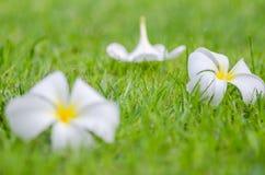 Frangipani ή λουλούδι Plumeria Στοκ Εικόνα
