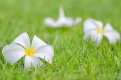 Frangipani ή λουλούδι Plumeria Στοκ εικόνες με δικαίωμα ελεύθερης χρήσης