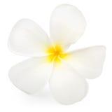 Frangipani ή λουλούδι Plumeria Στοκ Εικόνες
