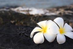 Frangipani ή λουλούδι Plumeria Στοκ φωτογραφία με δικαίωμα ελεύθερης χρήσης